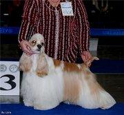 продам щенков американского коккер спаниеля