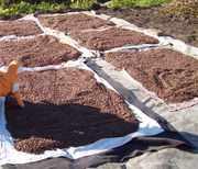 Кедровый орех урожай 2011 года!