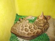 бенгальские котята питомника БЕНАМУР город Новосибирск