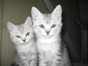 Продам британских котят,  как в рекламе