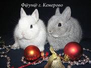 Продаются карликовые кролики в Кемерово (Кузбасс).